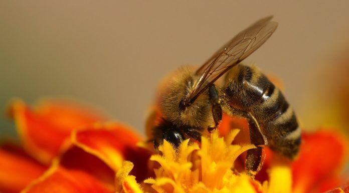 Ayudar a las abejas Ajudar les abelles