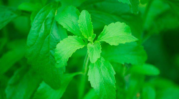 Stevia en hoja estèvia en fulla