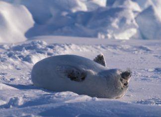 foca bebe