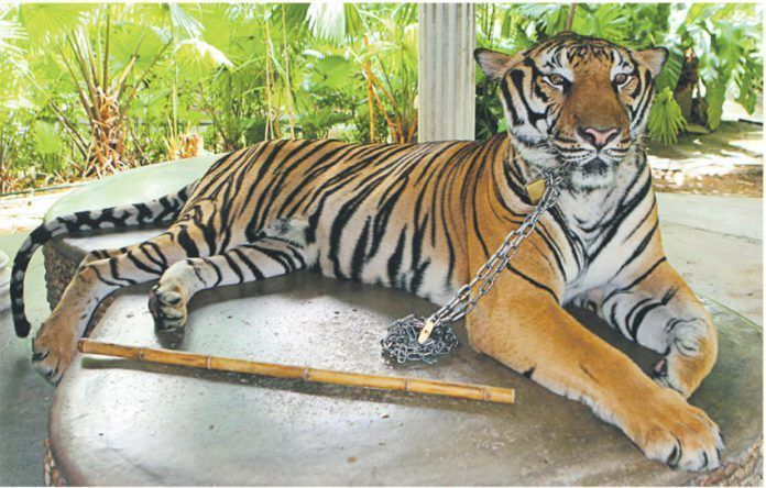 circos tigre