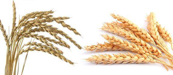 sol natural espelta trigo diferencias
