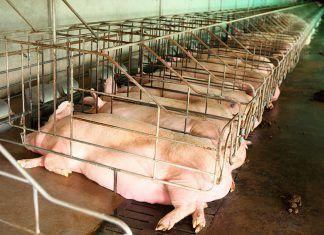 El sector porcino, sin control en Castilla y León