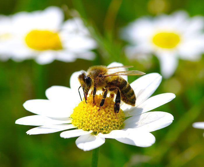 Las abejas de la miel están en peligro. Por Joaquim