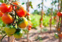 tomate historia alimentacion cultivos ecológicos Publicada la Estrategia para la Producción Ecológica 2018-2020