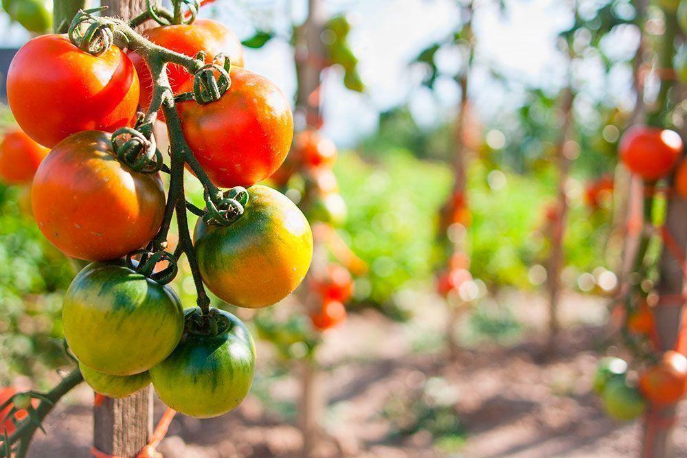 tomate historia alimentacion
