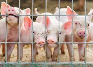 amputación en los cerdos amputació en els porcs