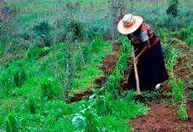 La agricultura campesina produce el 70% de los alimentos con el 25% de la tierra