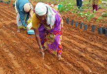 Soil microbes replace fertiliser Los microbios del suelo reemplazan al fertilizante Els microbis del sòl substitueixen el fertilitzant