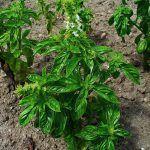 Las Hierbas Aromáticas y Medicinales. En el BioHuerto y la Cocina Albahaca (Ocimun basilicum) Les Herbes Aromàtiques i Medicinals al bio-hort i la Cuina