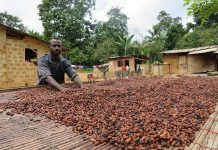 Agroforestry can safeguard the future of chocolate