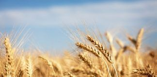 Italy bucks global trend to show strong growth in organic wheat production