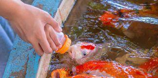 El pescado de piscifactoría peix de piscifactoria