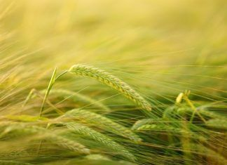 Who invented beer and barley? EPO continues to grant patents on conventional breeding despite new rules