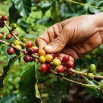¿Qué cantidad de café al día es óptima? quantitat de cafè al dia òptima