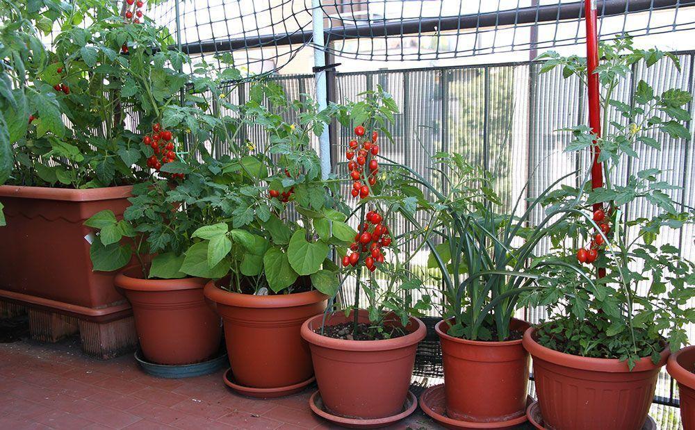 Bio jardinería comestible en nuestros balcones. Hortalizas. Plantas: florales, medicinales y aromáticas La mayor parte de las hortalizas son plantas anuales