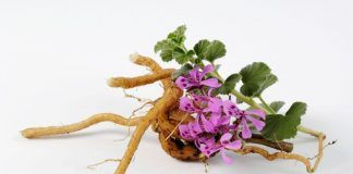 Raíz de Pelargonio para combatir el resfriado de forma rápida y saludable Arrel de Pelargoni