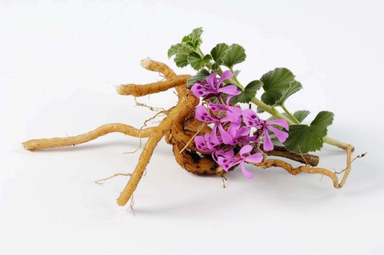 Raíz de Pelargonio para combatir el resfriado de forma rápida y saludable