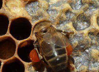 Las abejas siguen desprotegidas ante los insecticidas abelles insecticides
