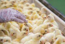 Conseqüències de la intensificació industrial del benestar animal
