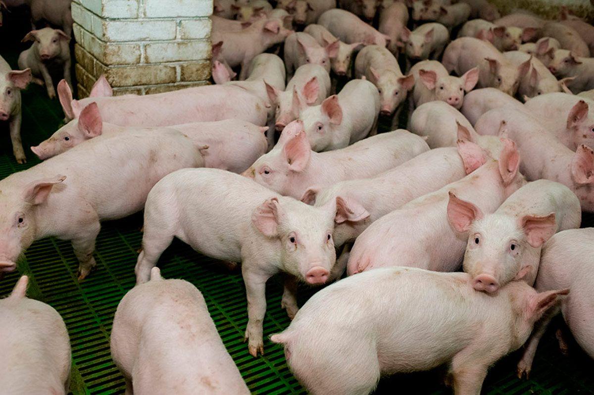 Consecuencias de la intensificación industrial del bienestar animal