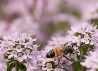 Com contribuir a la recuperació de les abelles