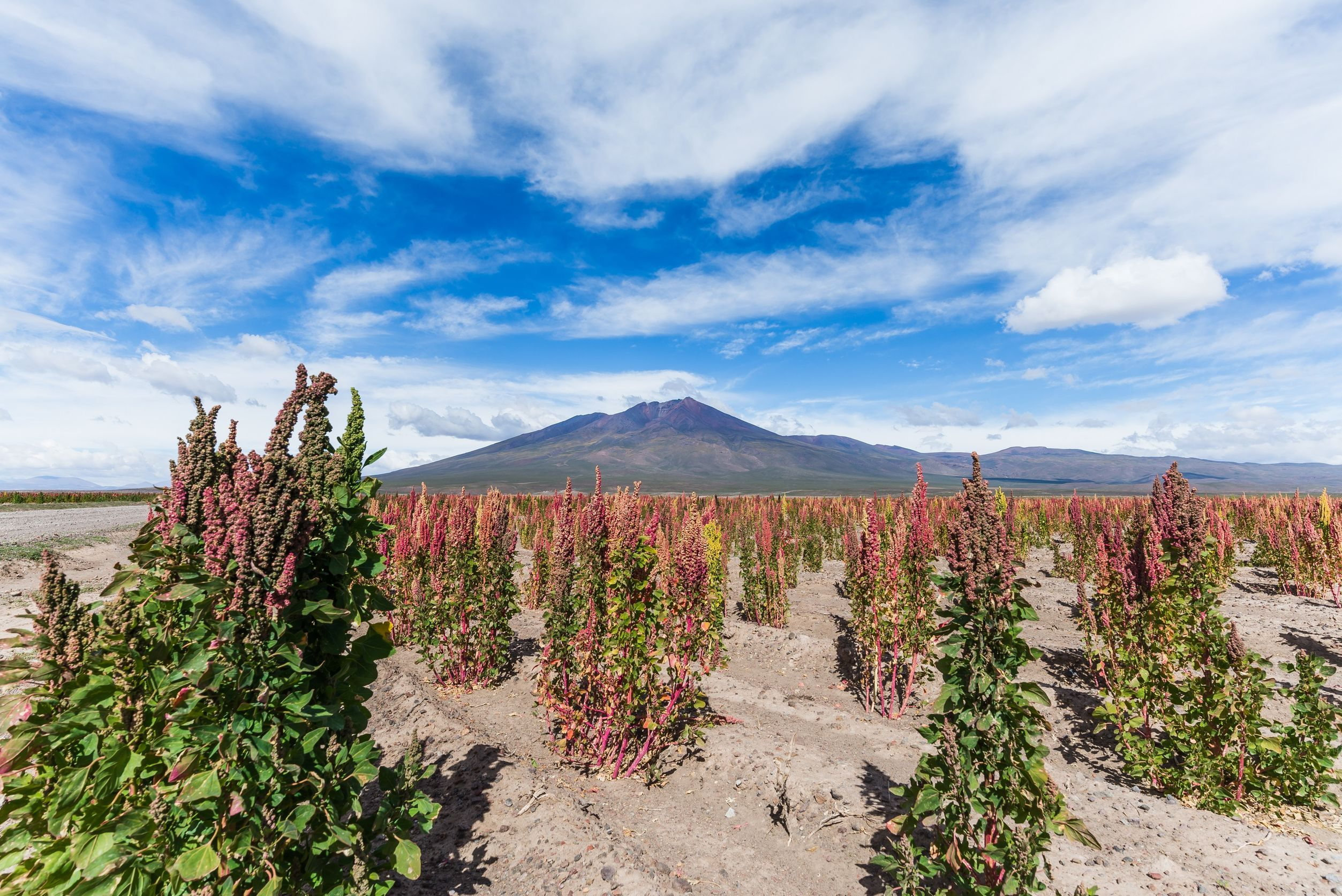 quinoa fields in the bolivian altiplano
