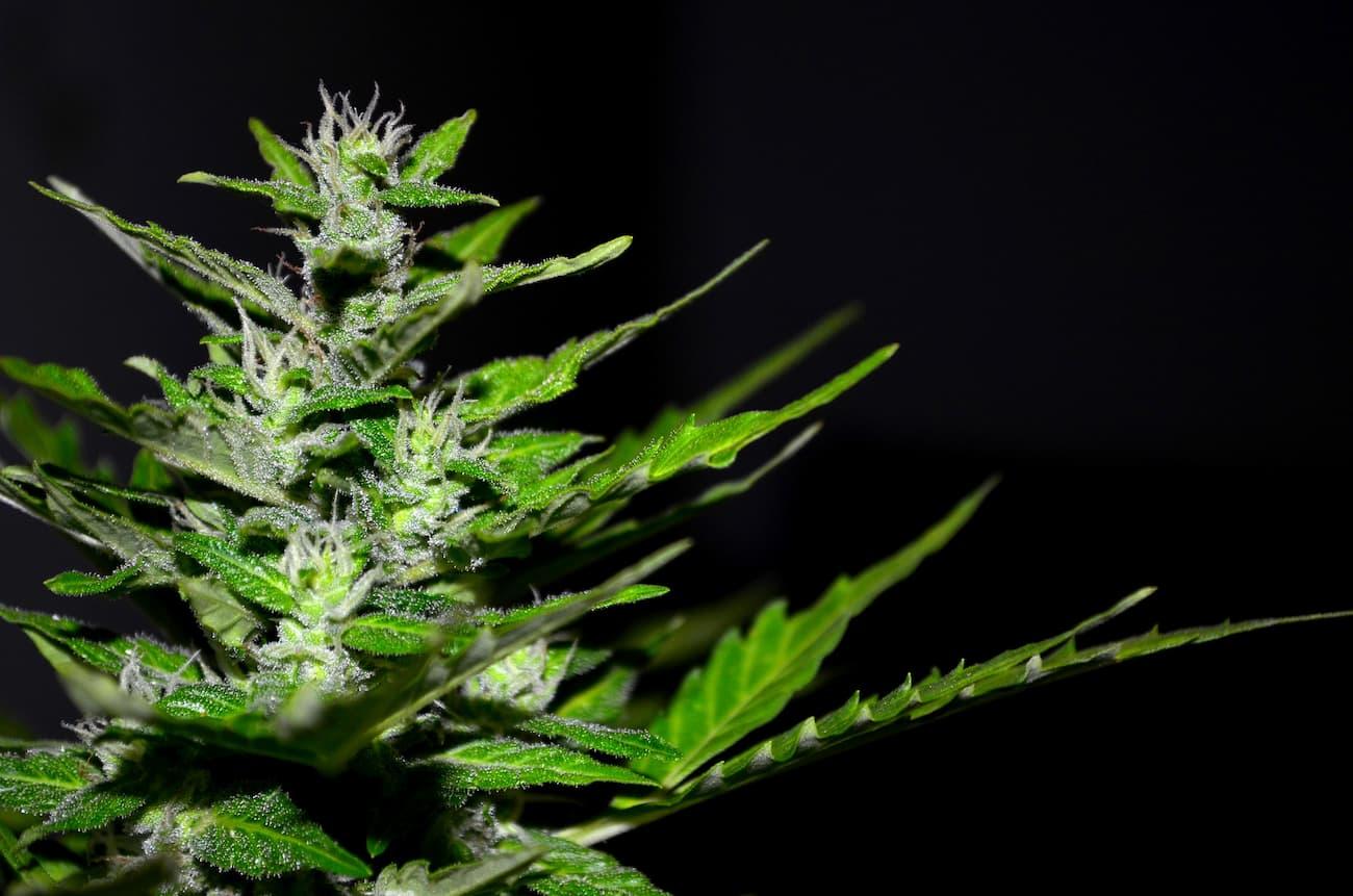 cannabis beneficios