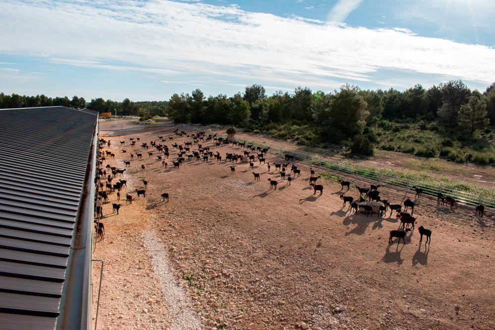Cantero de Letur refuerza la producción local de leche ecológica de cabra