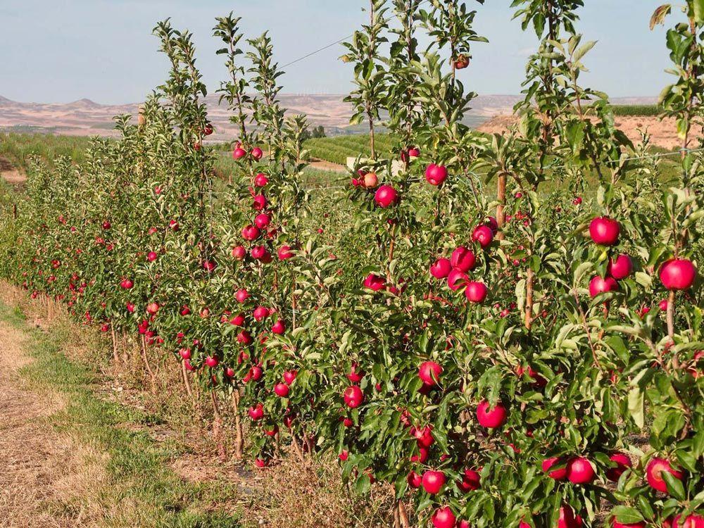 El trànsit de les pomes i peres més ecològiques